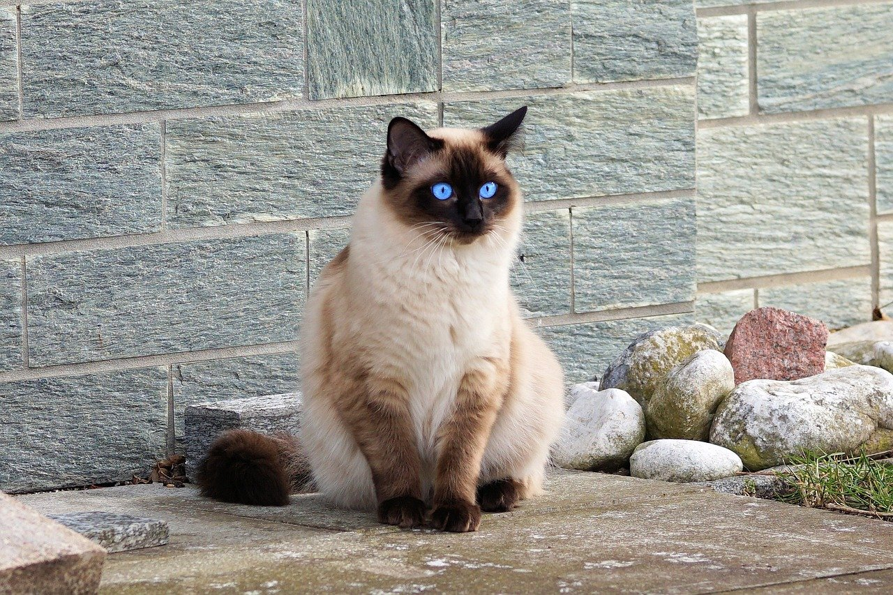 Siamese cat standing outside