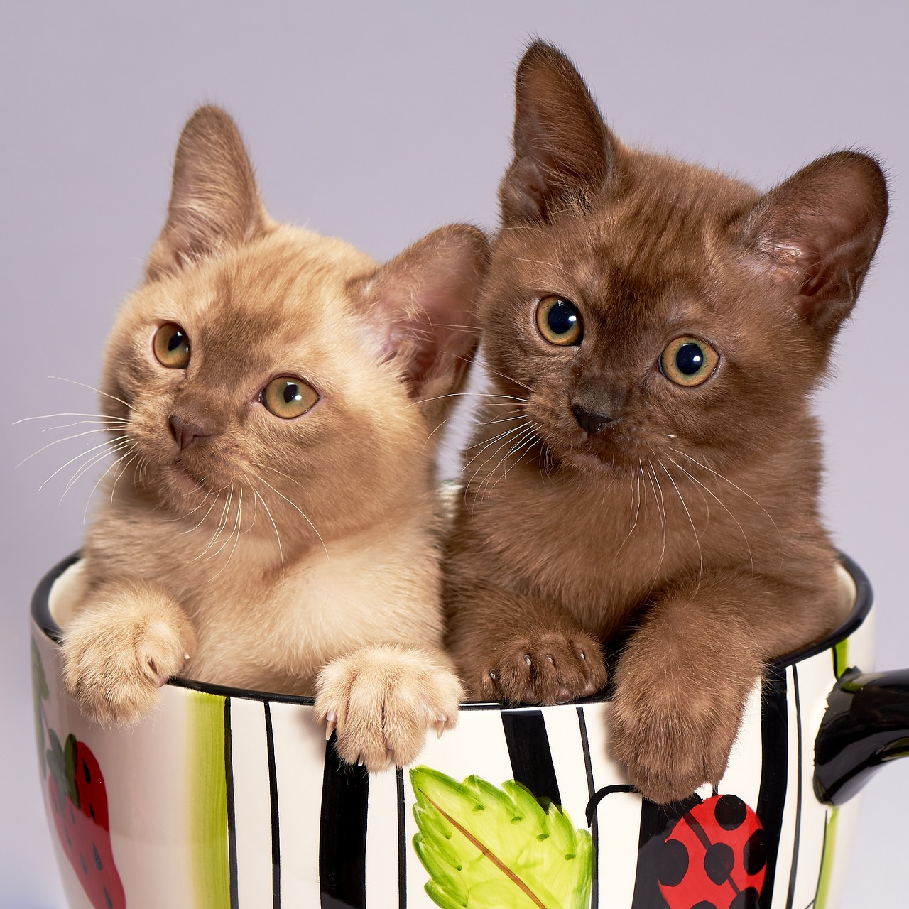 Two Burmese kittens in a cup