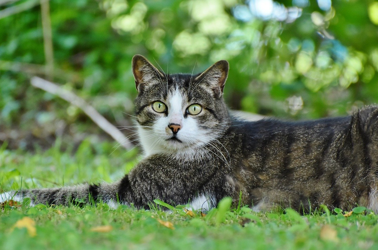 gray-black-white cat laying on grass