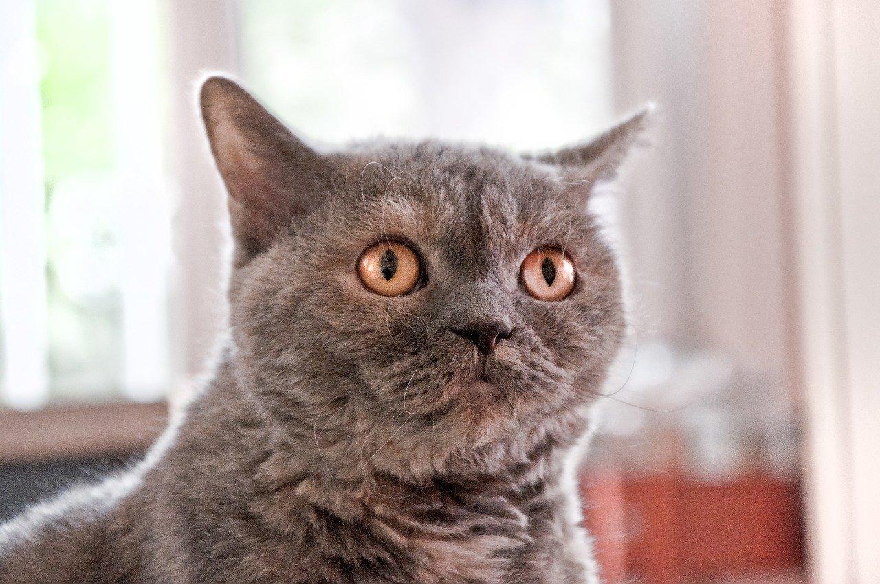 Selkirk Rex cat looking at owner