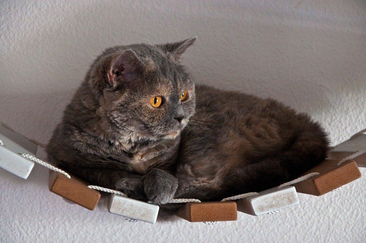 Selkirk Rex cat sitting on toy bridge