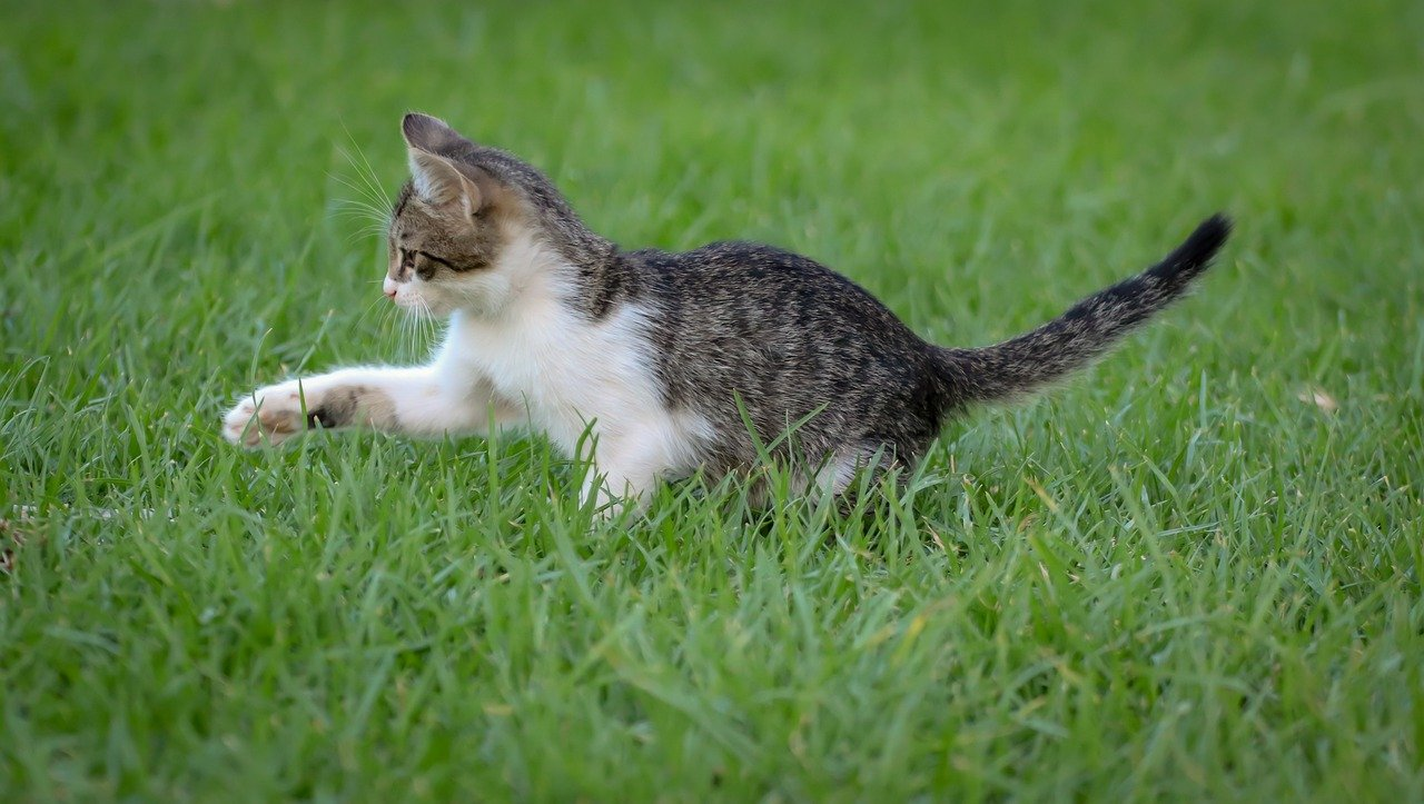 Gray cat outside playing in grass