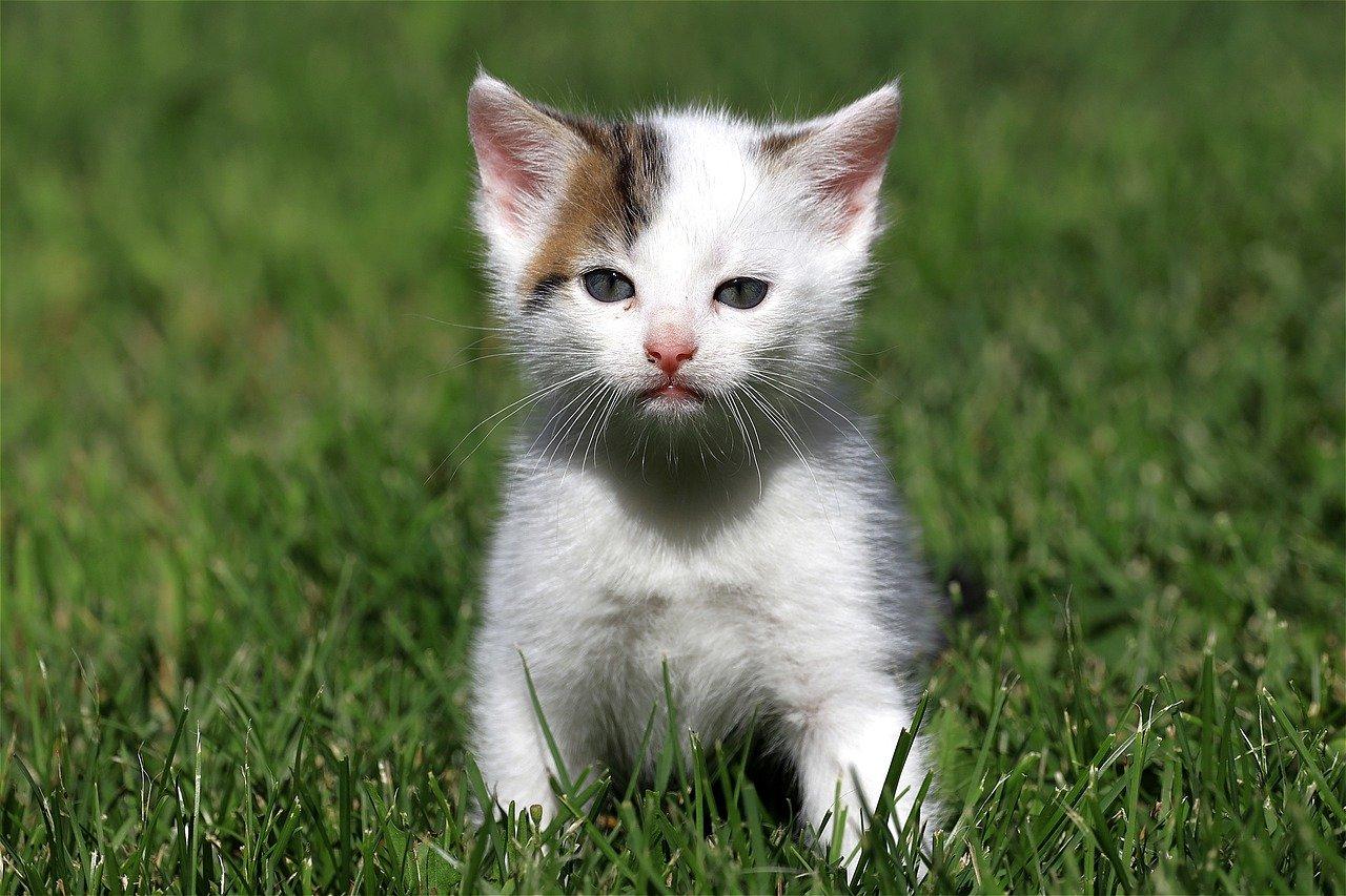 white cat walking on grass