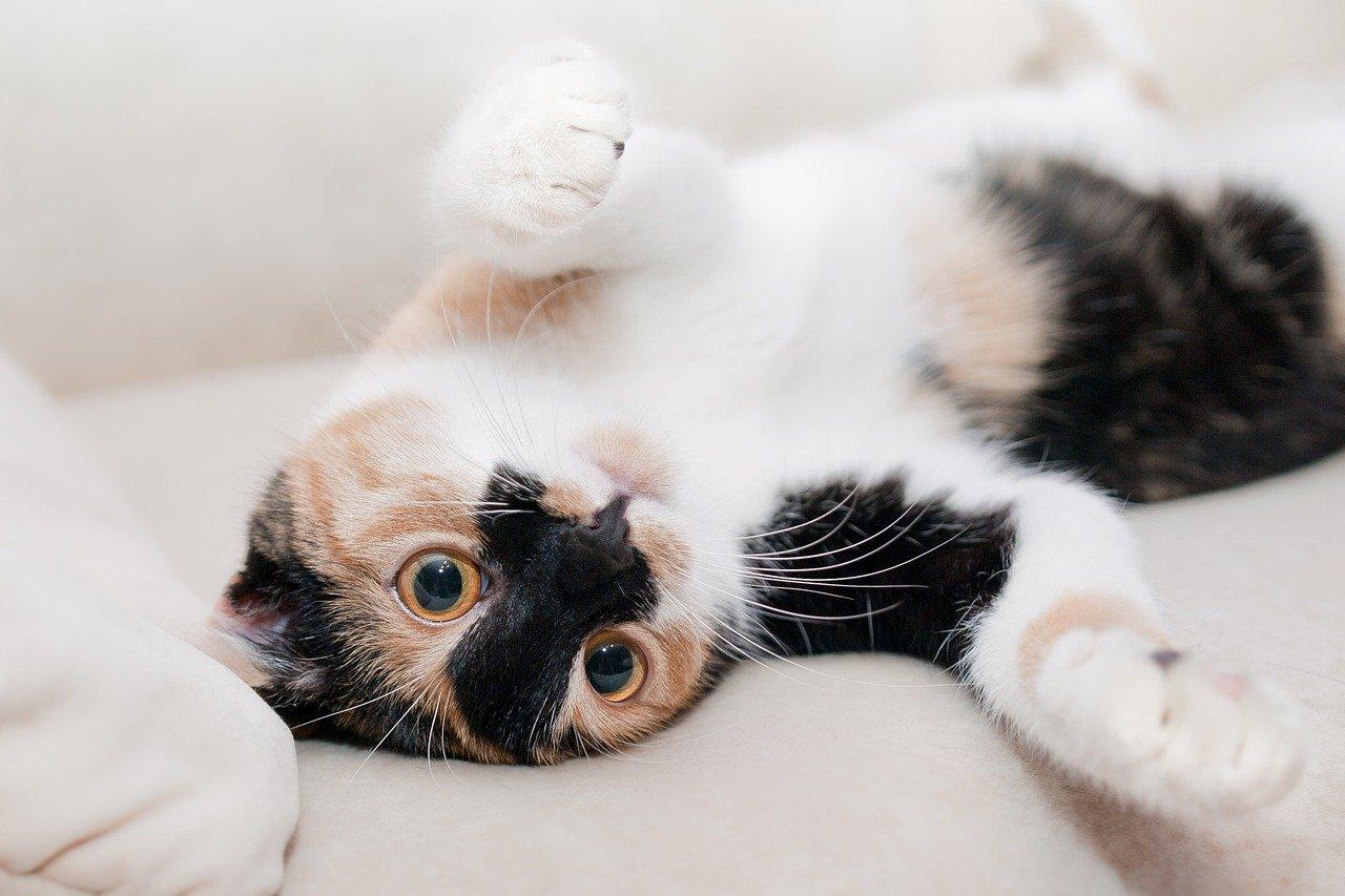 Black-white cat laying on back