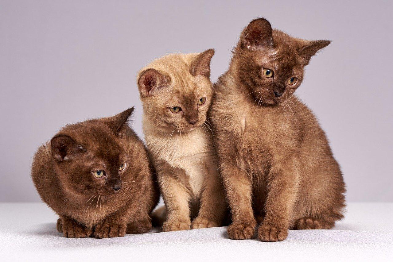 Three Burmese cats standing