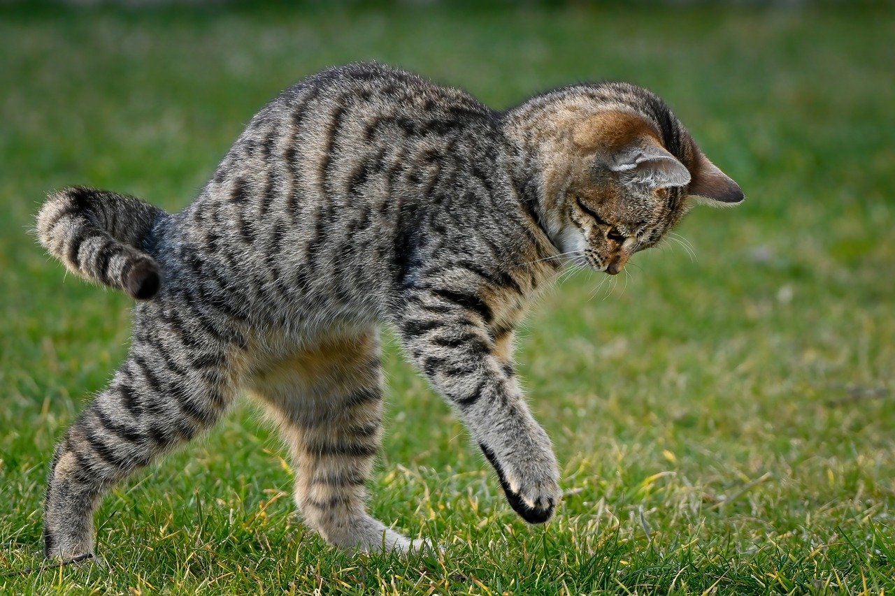 Striped gray cat playing outside in grass