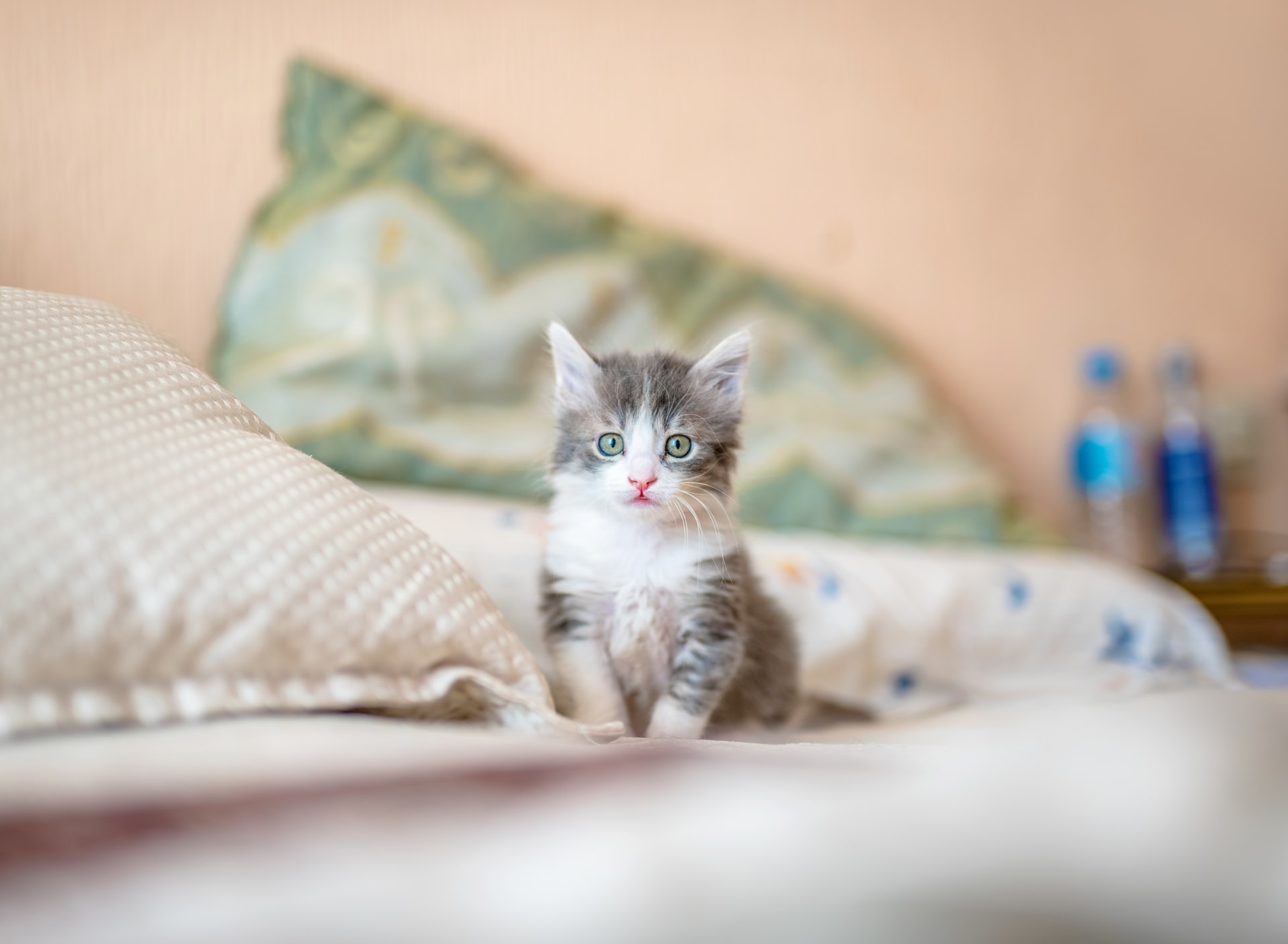 Teacup cat standing on bed