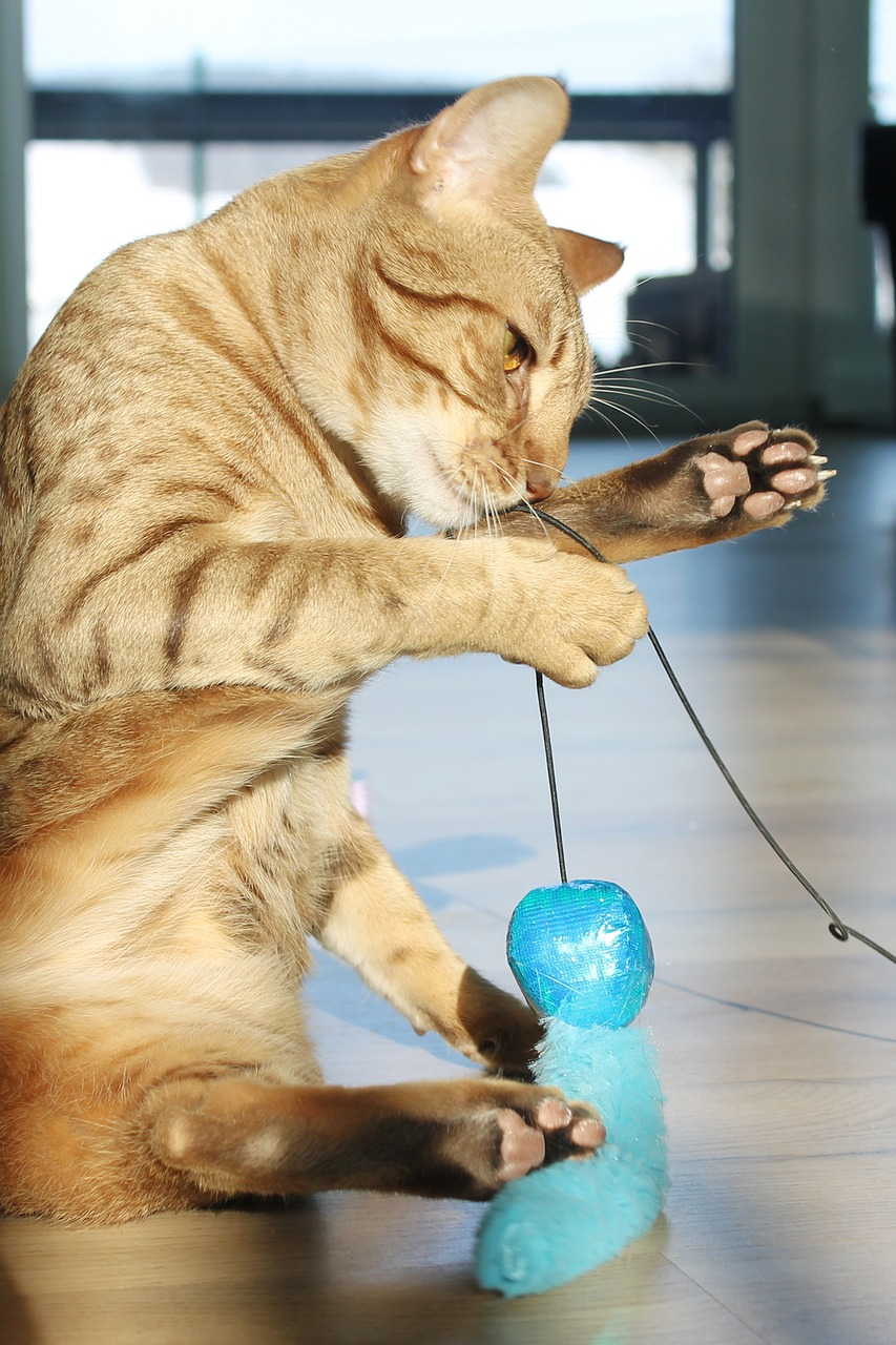Ocicat playing with toy