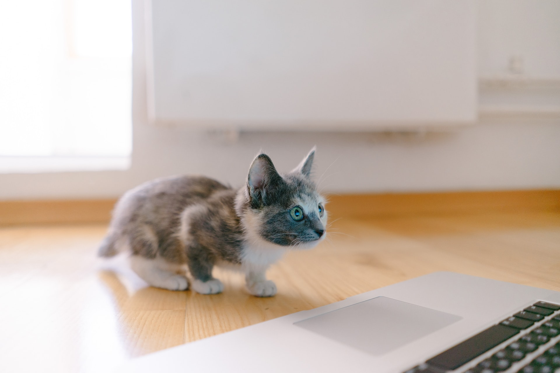 Teacup cat looking at laptop